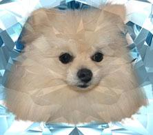 Home - Diamond Ice Pomeranians